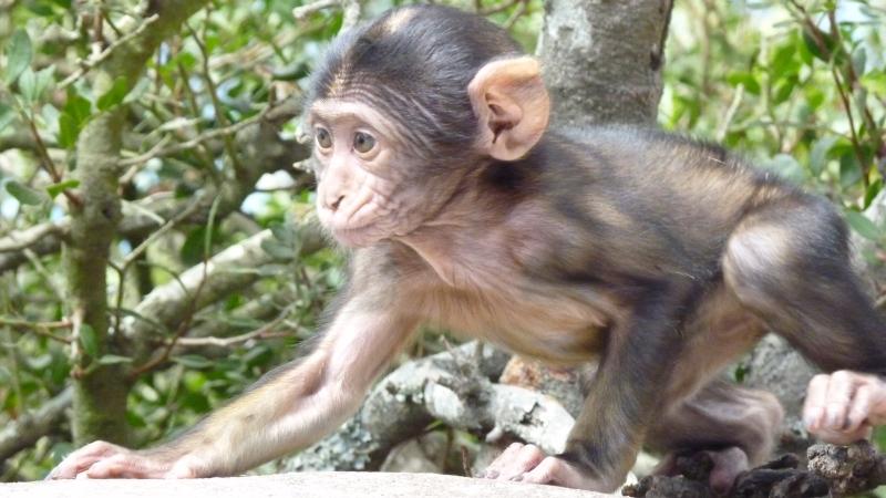 Gibraltar - malý makak