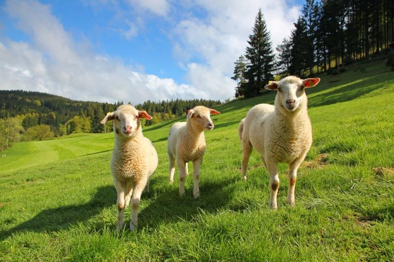 Velke Karlovice kŕmenie ovečiek na biofarme