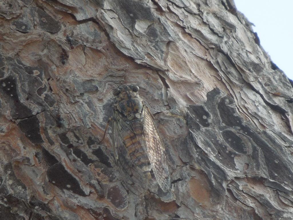 Calapigneta cikáda