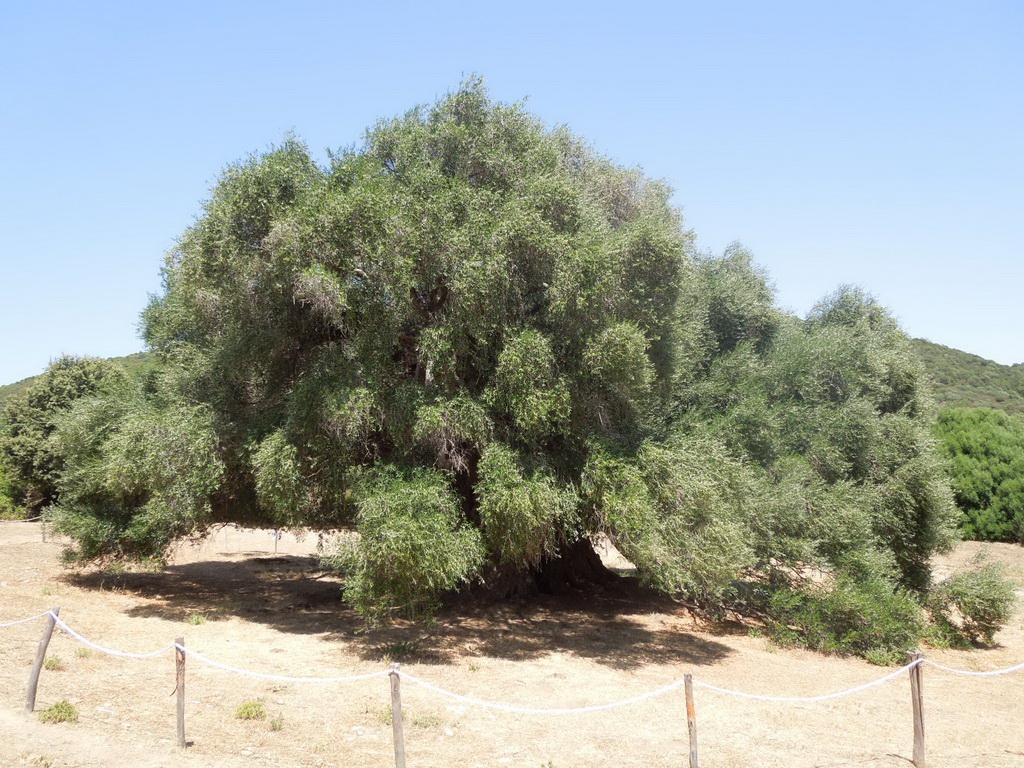 Lago di Liscia olivovnik