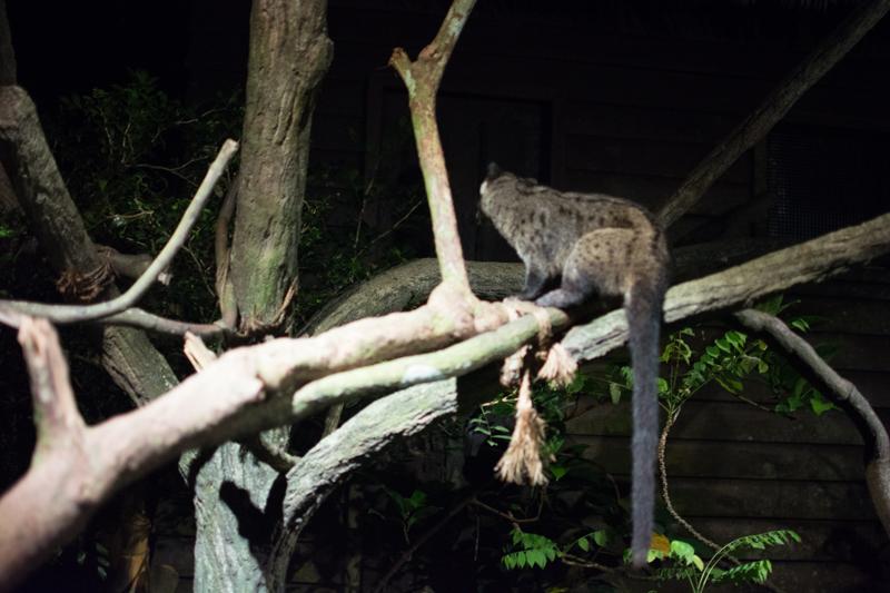 Cibetka - Night Safari