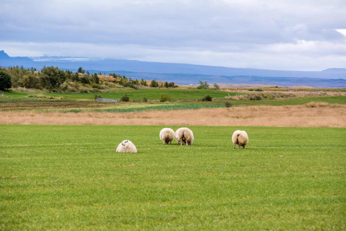 Islandské ovečky