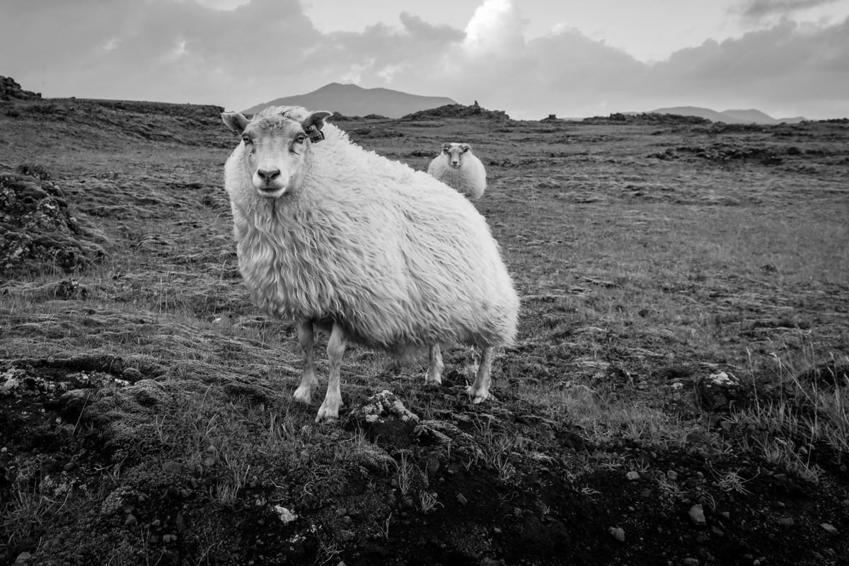Islandská ovečka