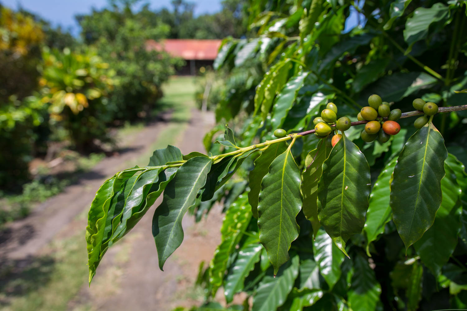 Kona Coffe Living History Farm